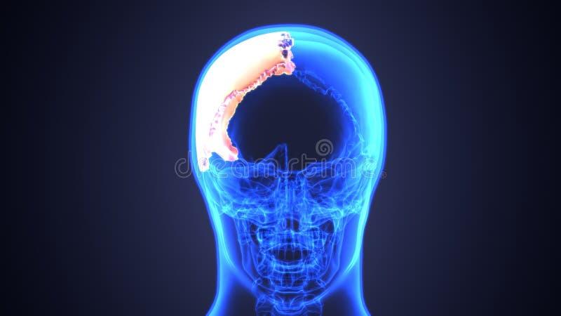 3d illustratie van het Menselijke Diagram van de Schedelanatomie | Periodiek stock illustratie