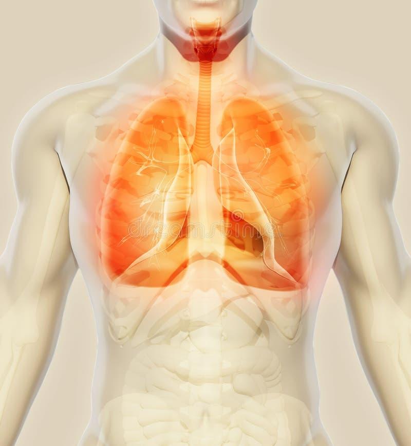 3D illustratie van Longen, medisch concept royalty-vrije illustratie
