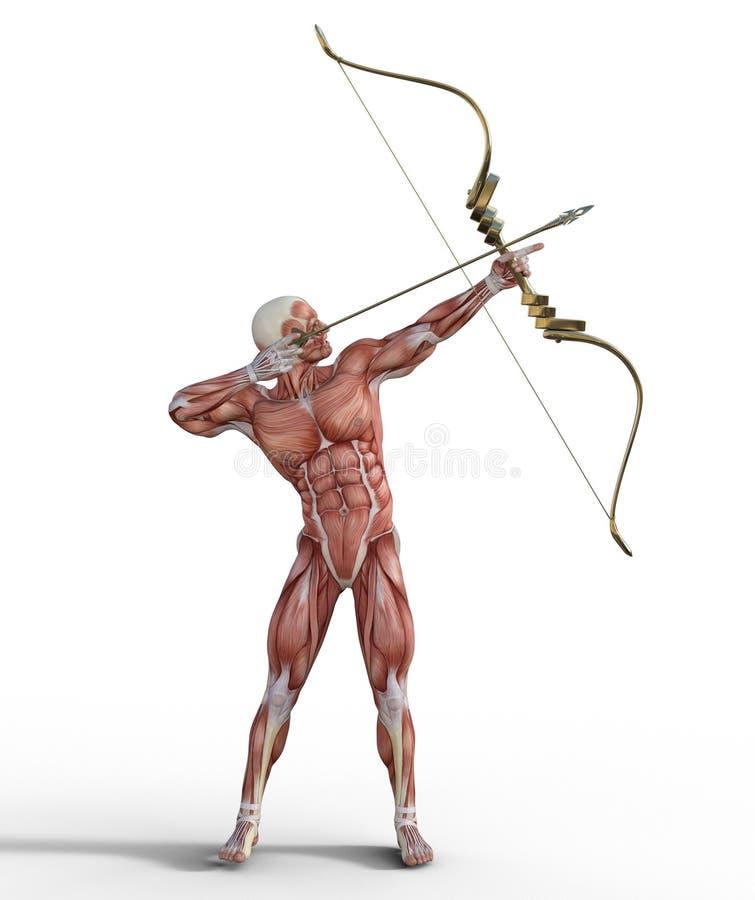 3D Illustratie van Mannelijk Spiersysteem met boog en pijl stock illustratie