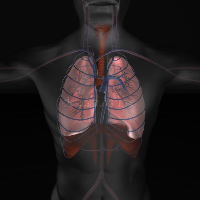 3d illustratie van menselijk lichaams organische delen Longenillustratie stock illustratie