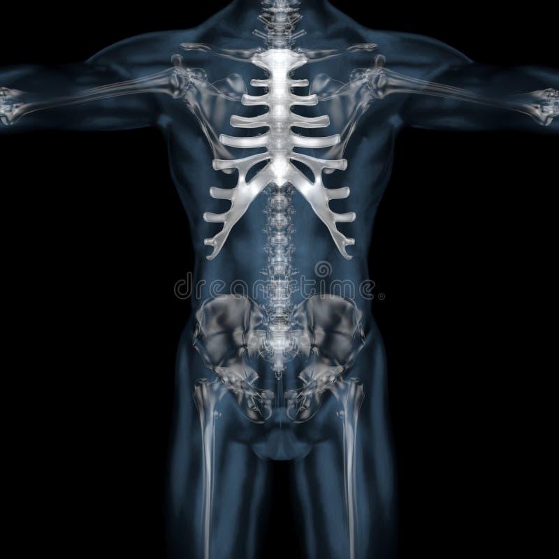 3D illustratie van menselijk lichaams skeletachtig borstbeen vector illustratie