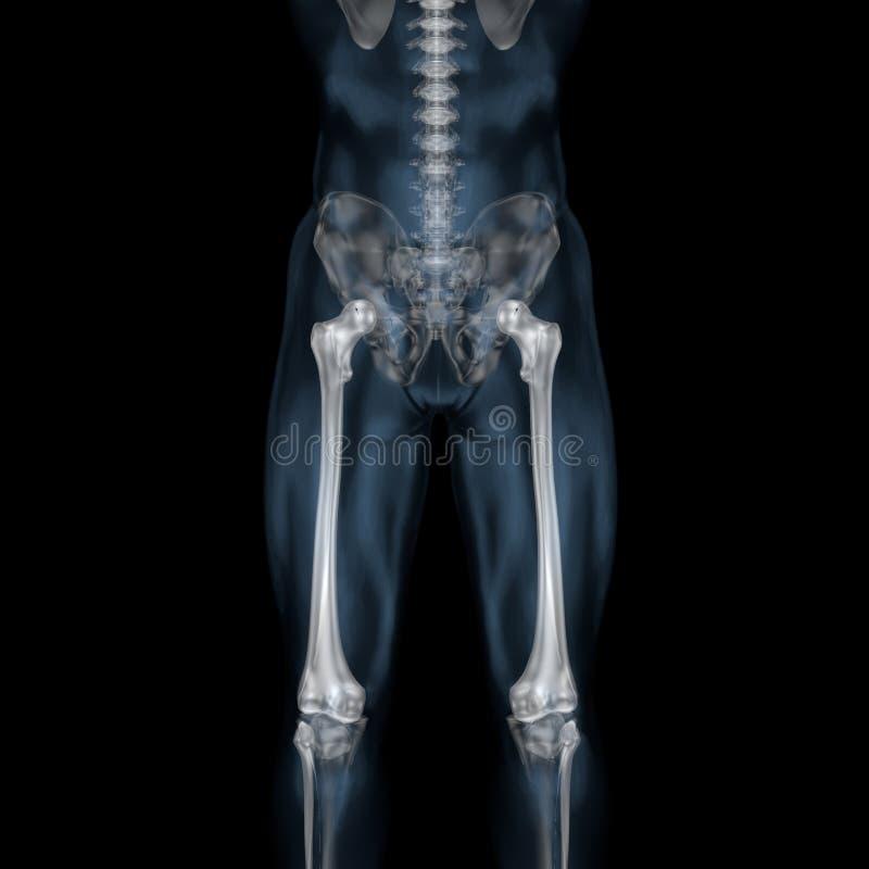 3d illustratie van menselijk lichaams skeletachtig dijbeen royalty-vrije illustratie