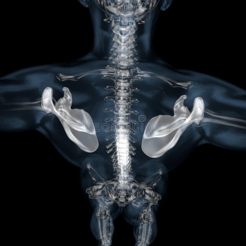 3d illustratie van menselijk lichaams skeletachtig schouderblad vector illustratie