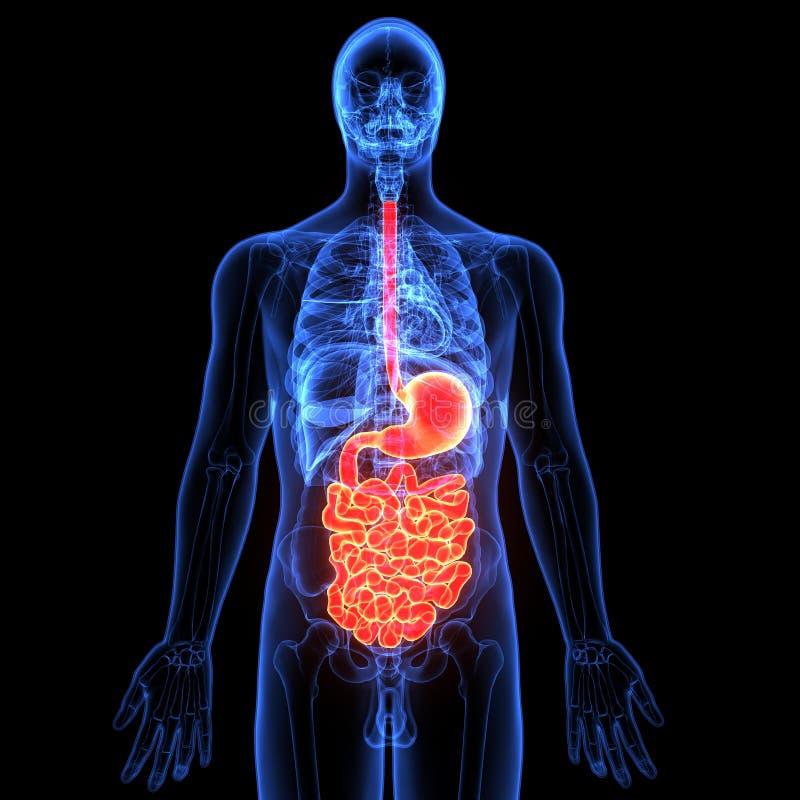 3d illustratie van menselijk lichaams spijsverteringssysteem royalty-vrije illustratie