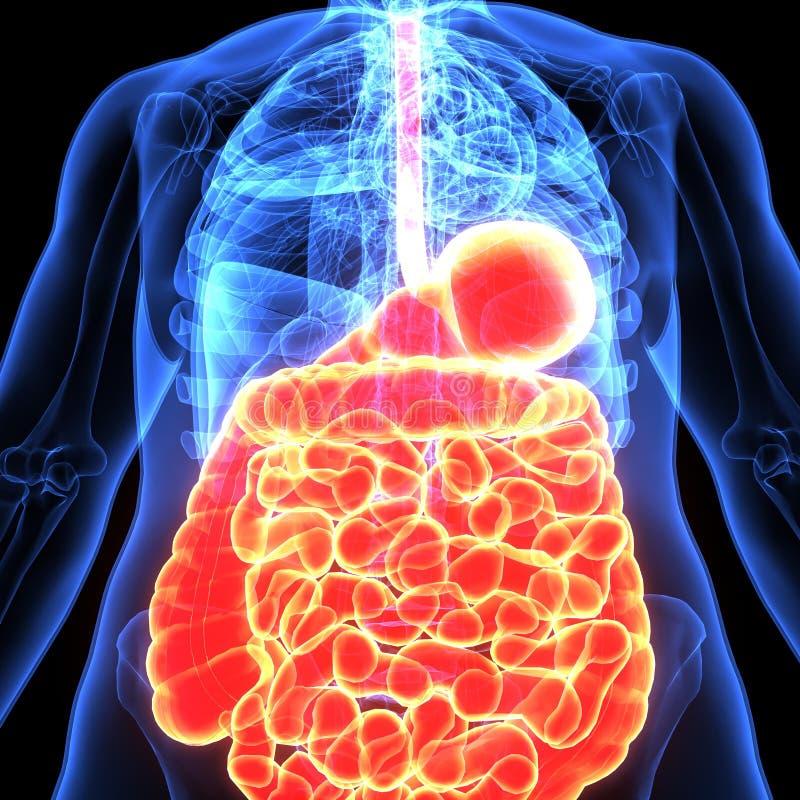 3d illustratie van menselijk lichaams spijsverteringssysteem vector illustratie