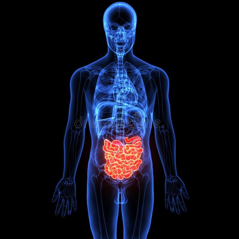 3d illustratie van menselijk lichaams spijsverteringssysteem stock illustratie
