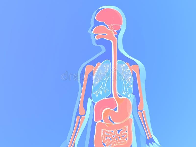 3D illustratie van menselijke anatomie die van blauwachtig en rozerood glas wordt gemaakt royalty-vrije illustratie