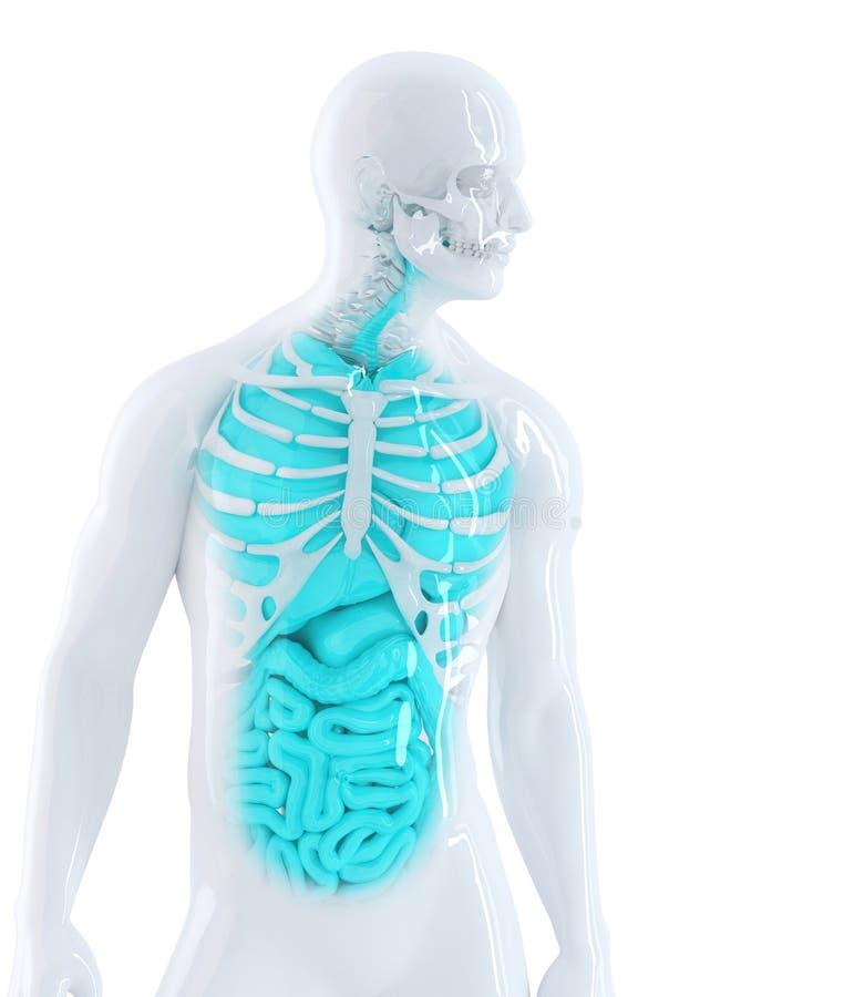 3d illustratie van menselijke interne organen Geïsoleerde Bevat het knippen weg stock illustratie