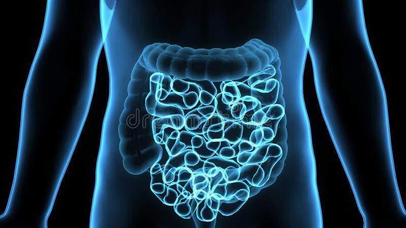3D Illustratie van Menselijke Spijsverteringssysteemanatomie & x28; Maag met Kleine Intestine& x29; vector illustratie