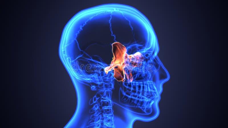 3D illustratie van Onderkaak - een Deel van Menselijk Skelet stock illustratie