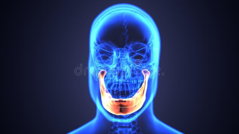 3D illustratie van Onderkaak - een Deel van Menselijk Skelet royalty-vrije illustratie