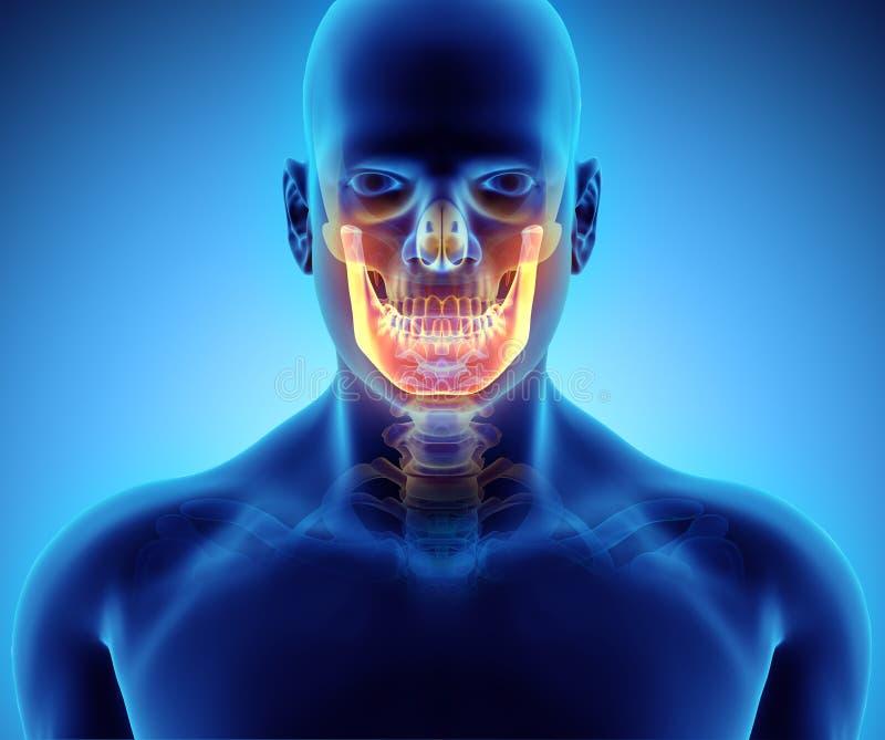 3D illustratie van Onderkaak, medisch concept stock illustratie