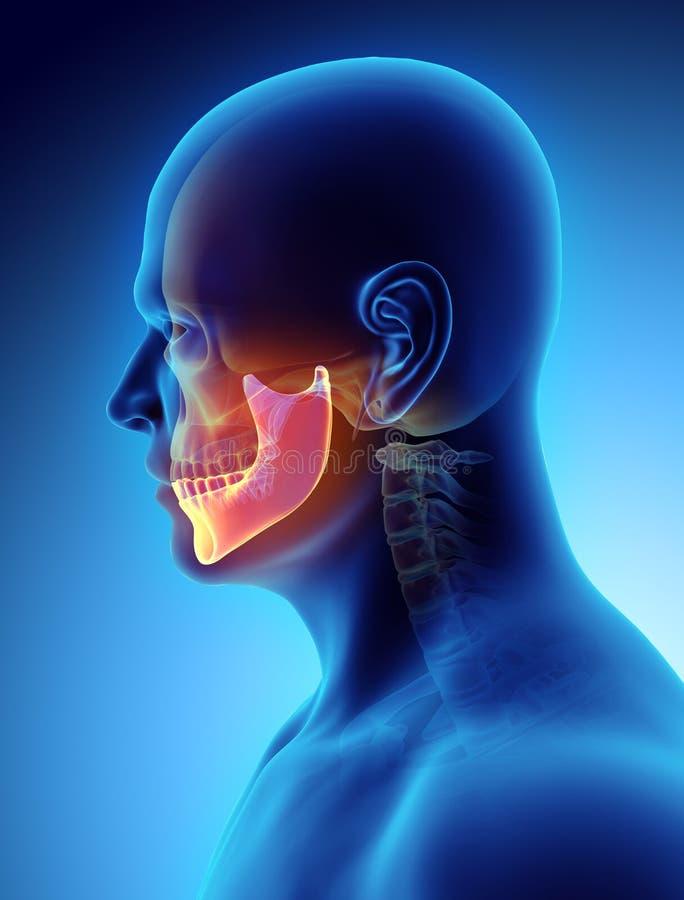 3D illustratie van Onderkaak, medisch concept royalty-vrije illustratie