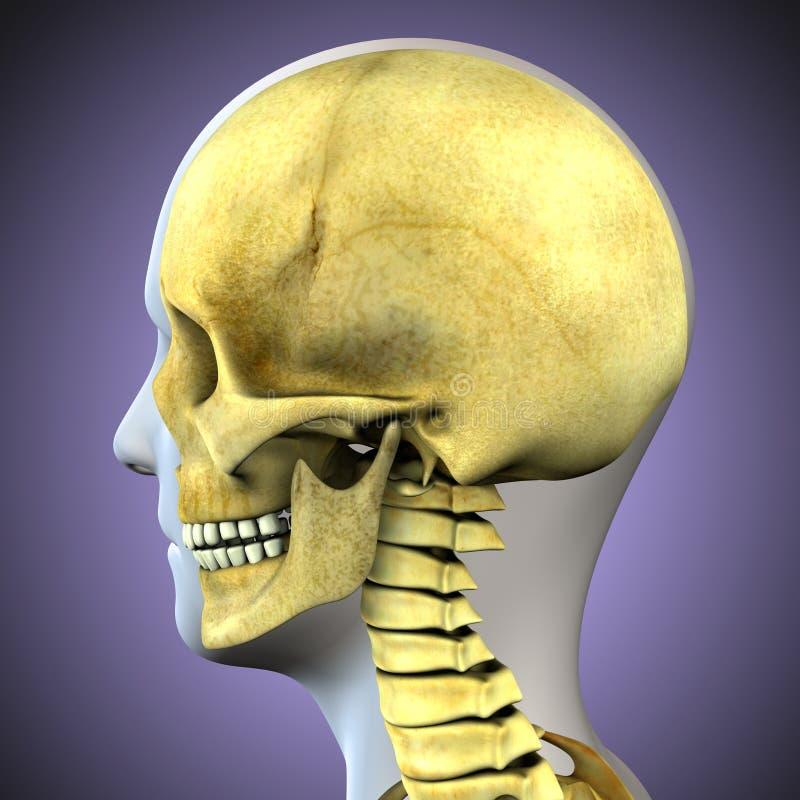 3D illustratie van schedelanatomie - een deel van menselijk skelet medisch concept stock illustratie