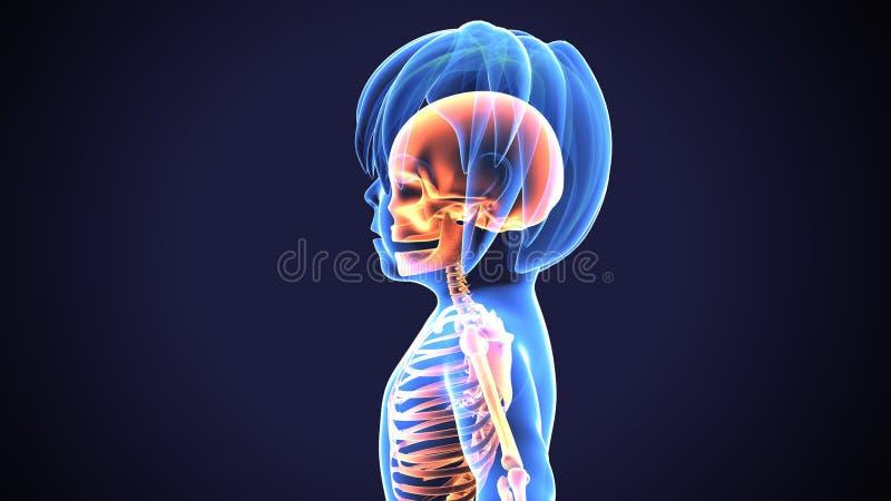 3D illustratie van schedelanatomie - een deel van menselijk skelet medisch concept vector illustratie