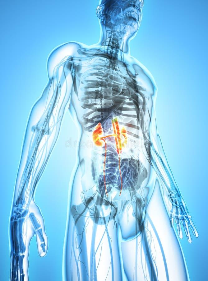 3D illustratie van Urinesysteem, medisch concept vector illustratie