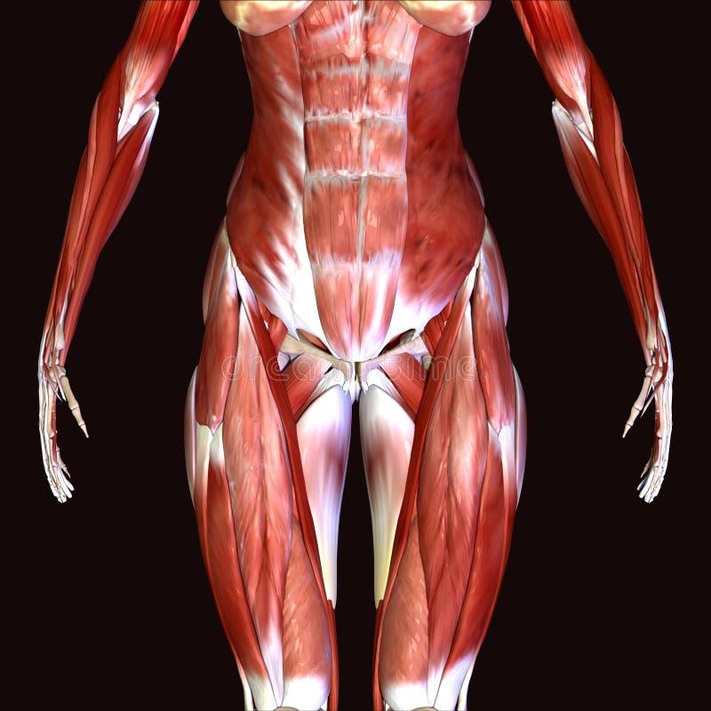 3d illustratie van vrouwelijke anatomie vector illustratie