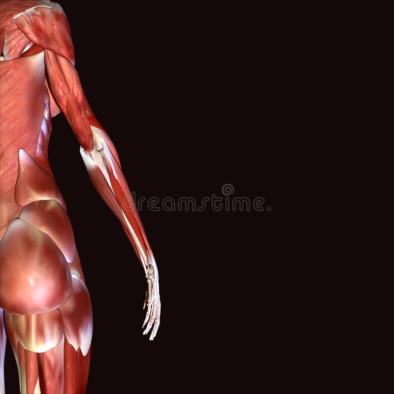 3d illustratie van vrouwelijke anatomie stock illustratie