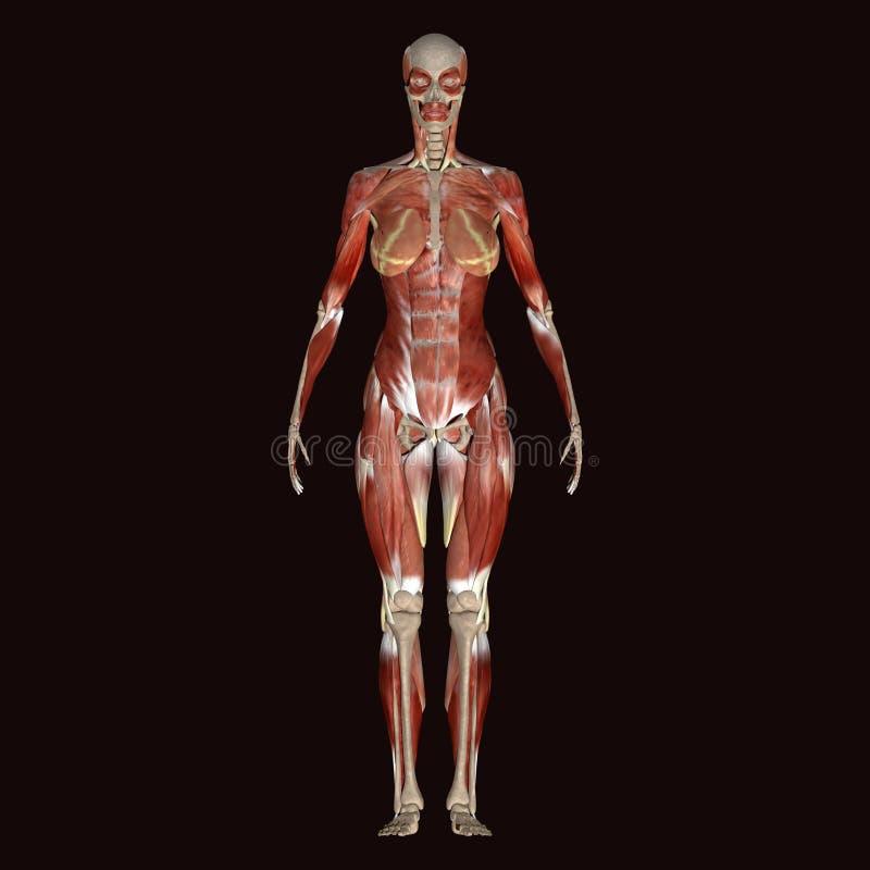 3d illustratie vrouwelijk menselijk lichaam stock illustratie
