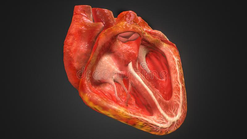 3d Illustration of Anatomy of Human Heart Isolated on black.  vector illustration