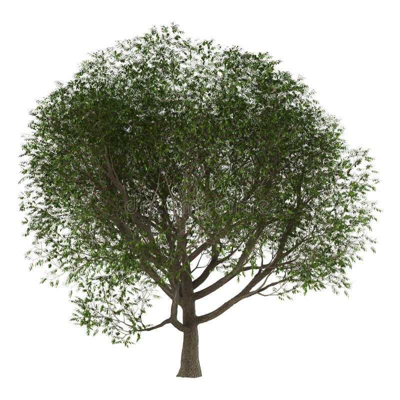 3D illustration Ash Tree på vit vektor illustrationer