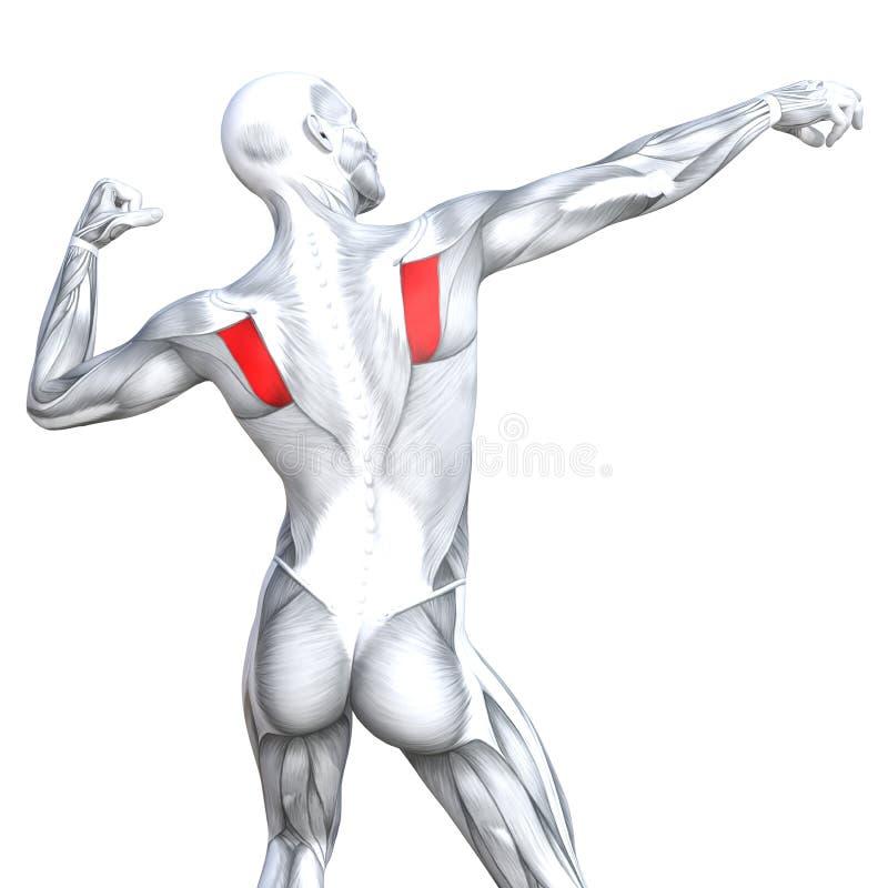 3D illustration back fit strong human anatomy royalty free illustration