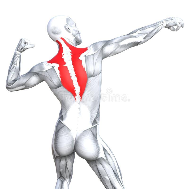 3D illustration back fit strong human anatomy vector illustration