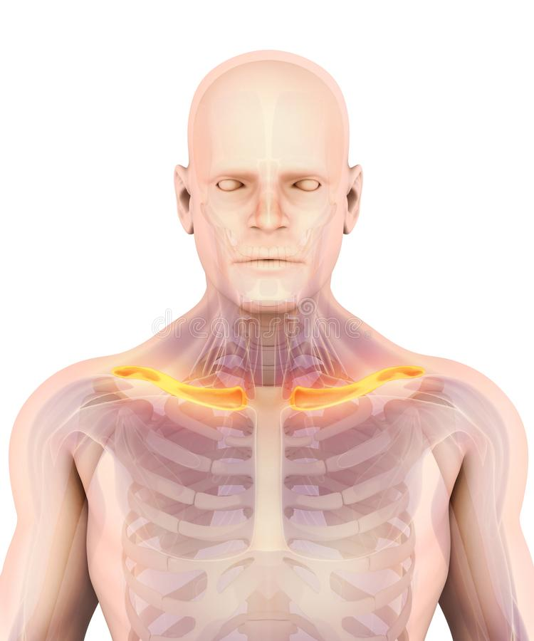 3D illustration of Clavicle, medical concept. royalty free illustration