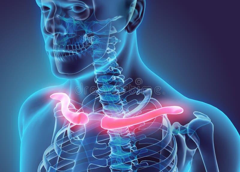 3D illustration of Clavicle, medical concept. stock illustration