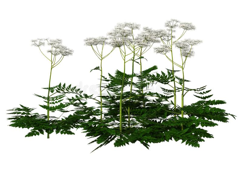 3D Rendering Cow Parsley Plants on White stock illustration