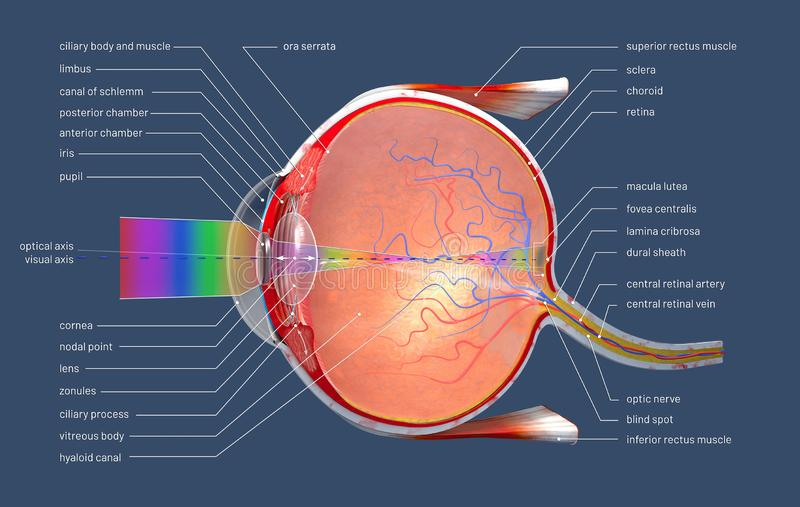 Cross section of the human eye with explanations and inscription. 3d illustration of a cross section of the human eye with explanations and inscription royalty free stock image