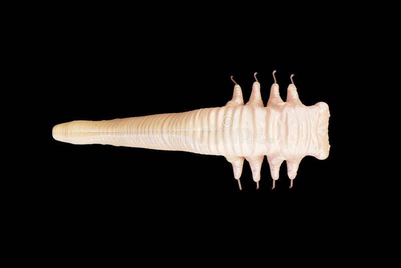 Demodex folliculorum parasite that causes demodicosis illustration 3D rendering stock photos