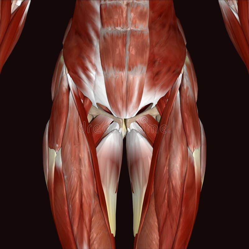 3d illustration female human body stock illustration