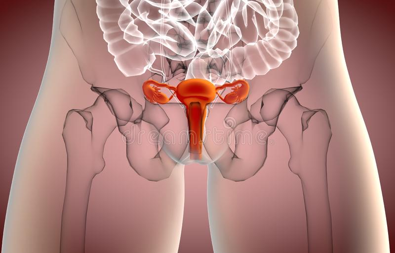 3d illustration of Female REPRODUCTIVE system x-ray view stock illustration