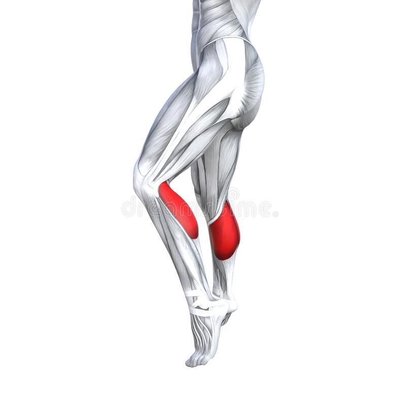 3D illustration fit strong back lower leg human anatomy. Concept conceptual 3D illustration fit strong back lower leg human anatomy, anatomical muscle isolated royalty free illustration