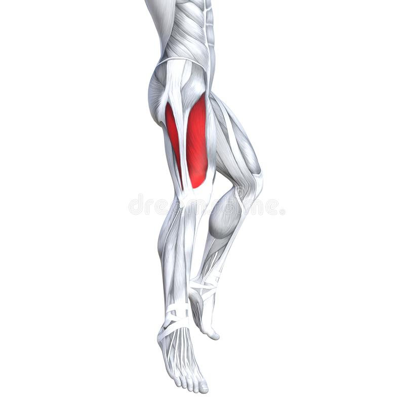 3D illustration fit strong back upper leg human anatomy. Concept conceptual 3D illustration fit strong front upper leg human anatomy, anatomical muscle isolated stock illustration
