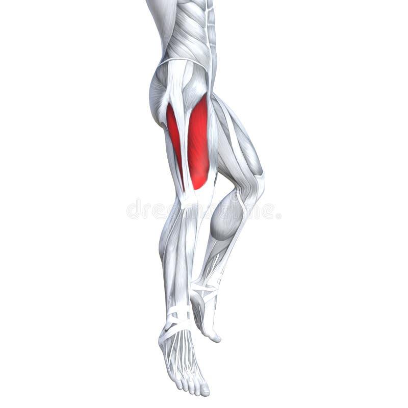 3D Illustration Fit Strong Back Upper Leg Human Anatomy Stock ...