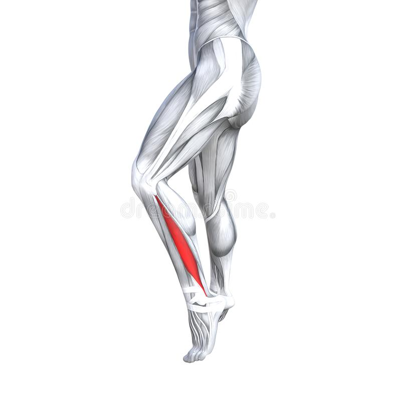 3D illustration fit strong front lower leg human anatomy. Concept conceptual 3D illustration fit strong front lower leg human anatomy, anatomical muscle isolated stock illustration