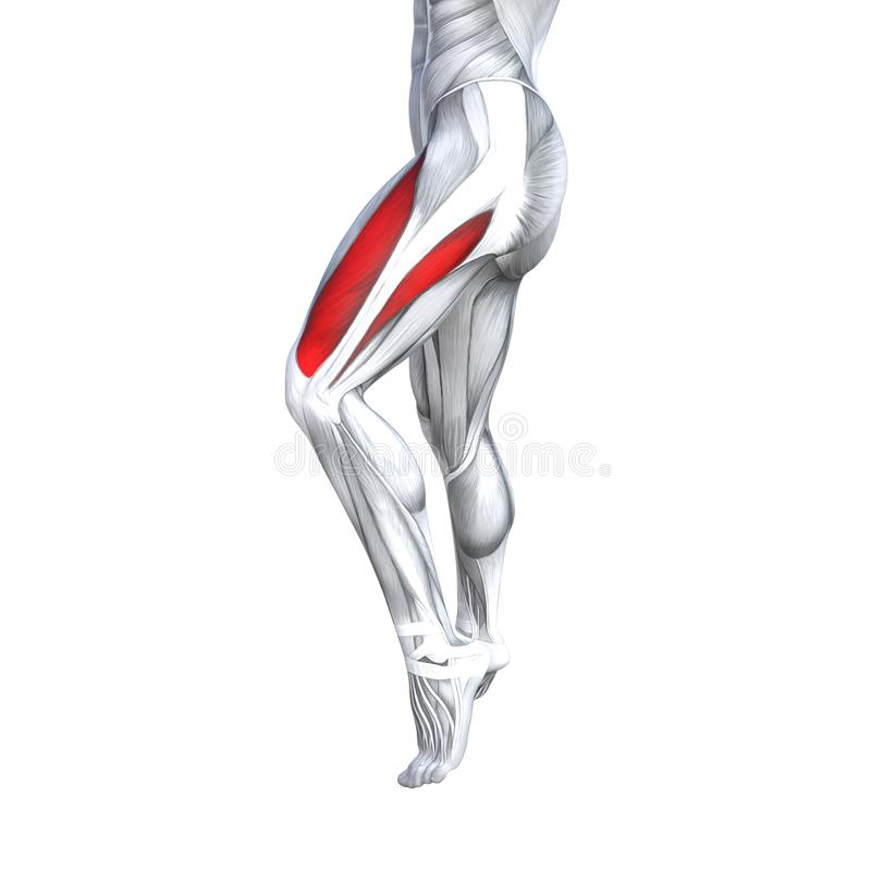 3D illustration fit strong front upper leg human anatomy, anatomical muscle isolated white background for body. Concept conceptual 3D illustration fit strong vector illustration