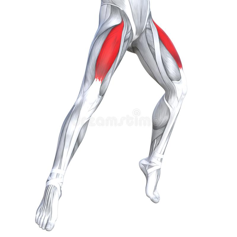 3D illustration front upper leg human anatomy. Concept conceptual 3D illustration fit strong front upper leg human anatomy, anatomical muscle isolated white stock illustration