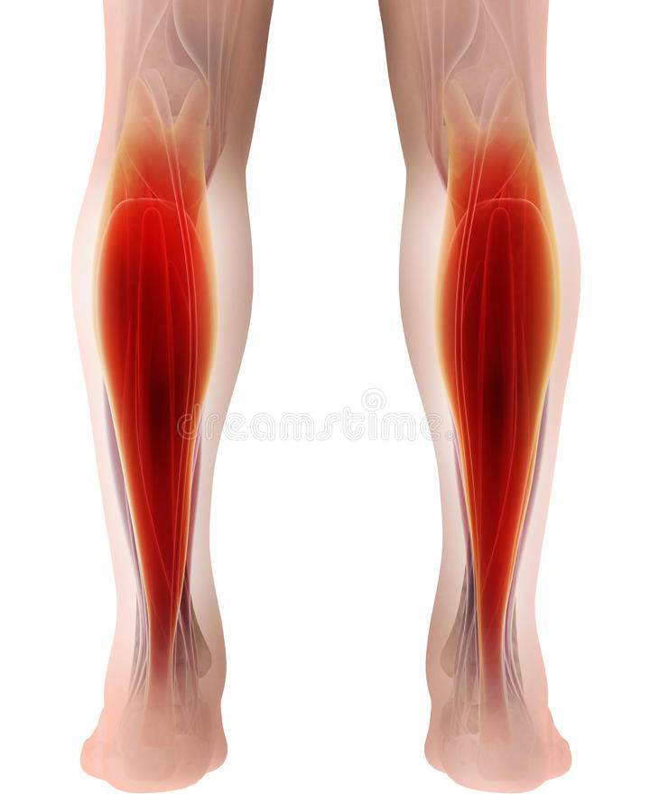 3D illustration of gastrocnemius, Part of Legs Muscle Anatomy. Medical concept stock illustration