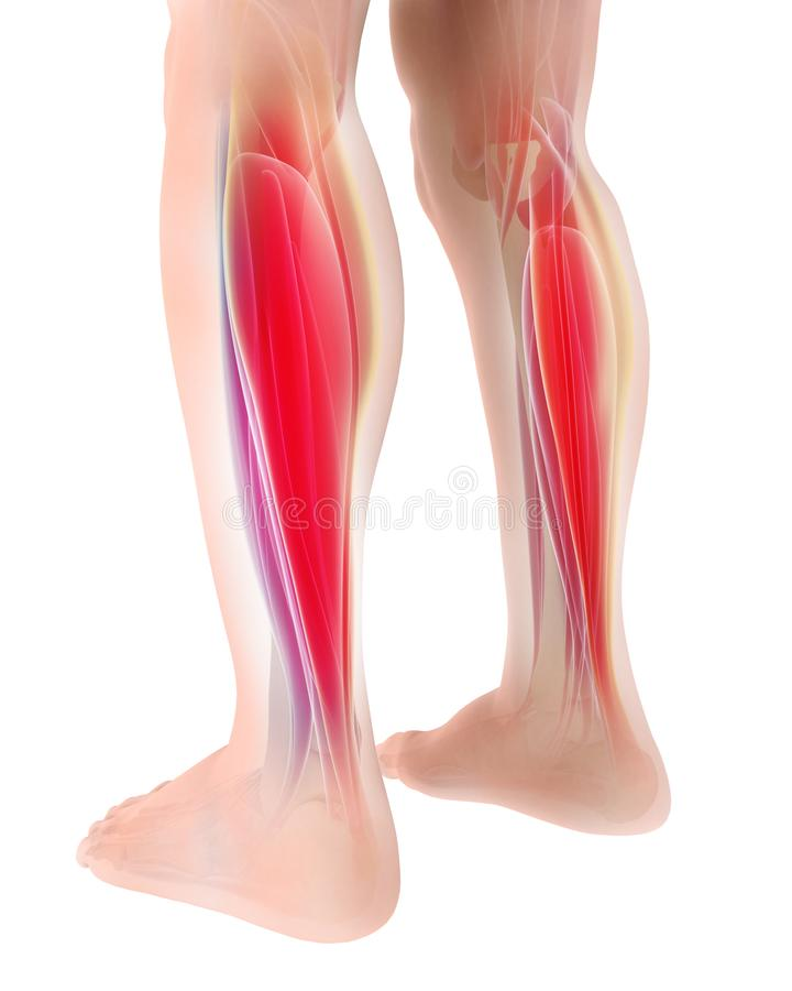 3D illustration of gastrocnemius, Part of Legs Muscle Anatomy. Medical concept vector illustration