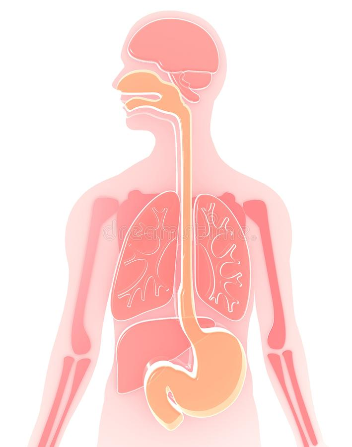 3D illustration human anatomy made of semitransparent plastic pink-red , , digestive system, esophagus, duodenum, lungs highlighte vector illustration