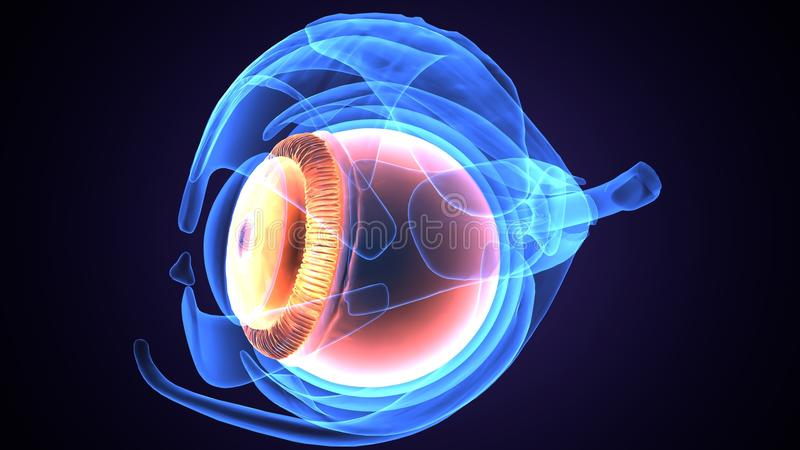3d illustration of human body eye anatomy. The human eye is an organ which reacts to light and pressure. As a sense organ, the mammalian eye allows vision. Human vector illustration