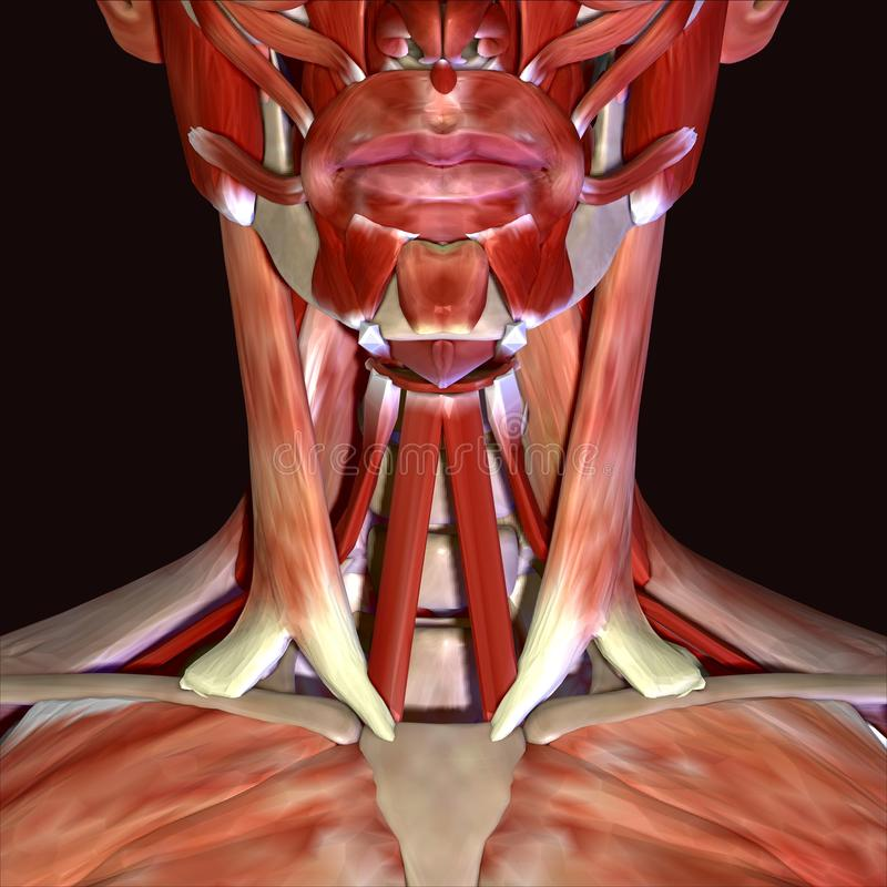 3d Illustration Of Human Body Face Muscles Stock Illustration ...