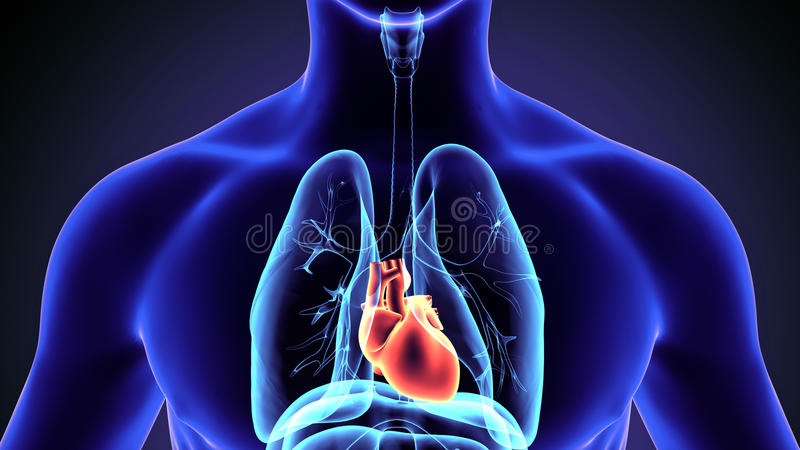3d illustration of human body heart anatomy. The heart is a muscular organ in humans and other animals, which pumps blood through the blood vessels of the royalty free illustration