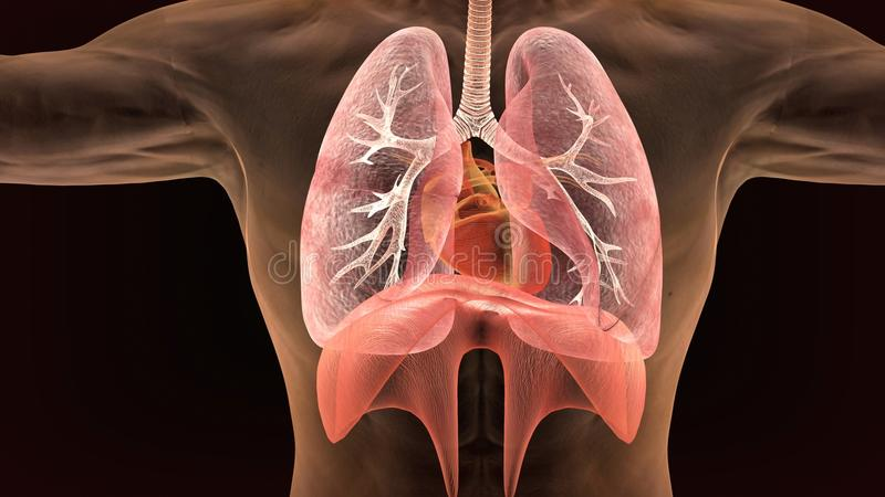 3d illustration of human body lungs anatomy. The lungs are the primary organs of the respiratory system in humans and many other animals including a few fish and vector illustration