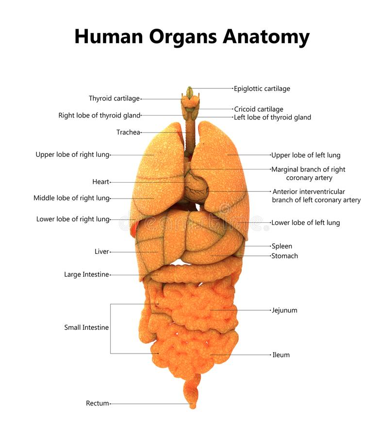 Human Body Organs Anatomy With Detailed Labels Stock Illustration ...