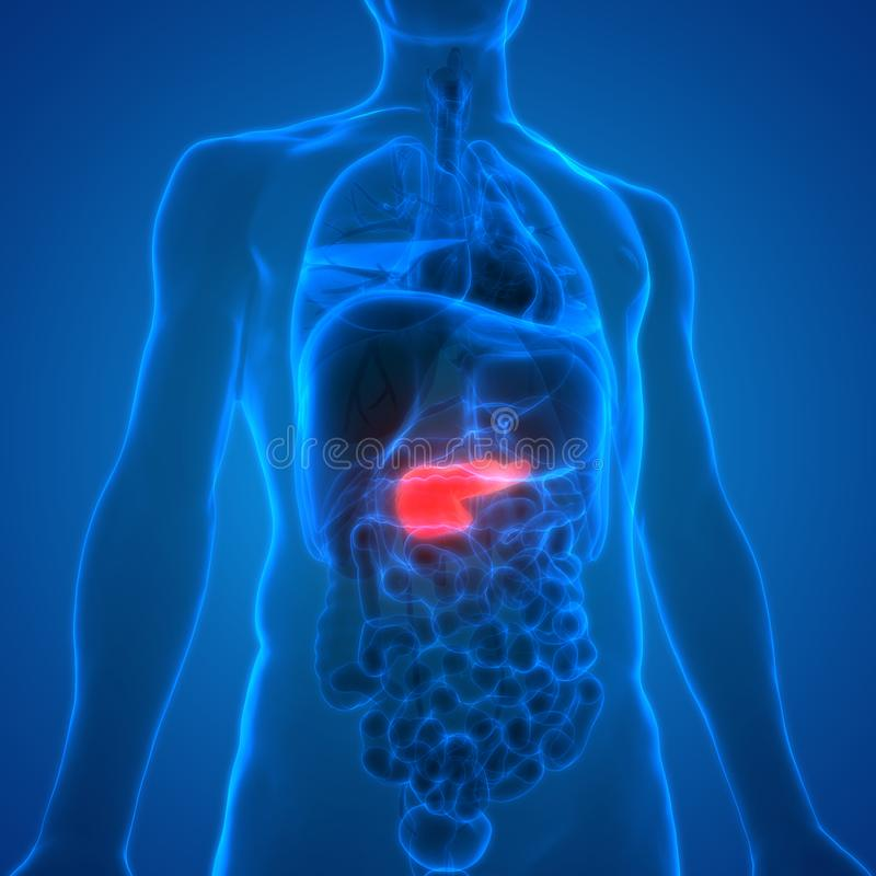Human Body Organs Anatomy Pancreas Stock Illustration Illustration