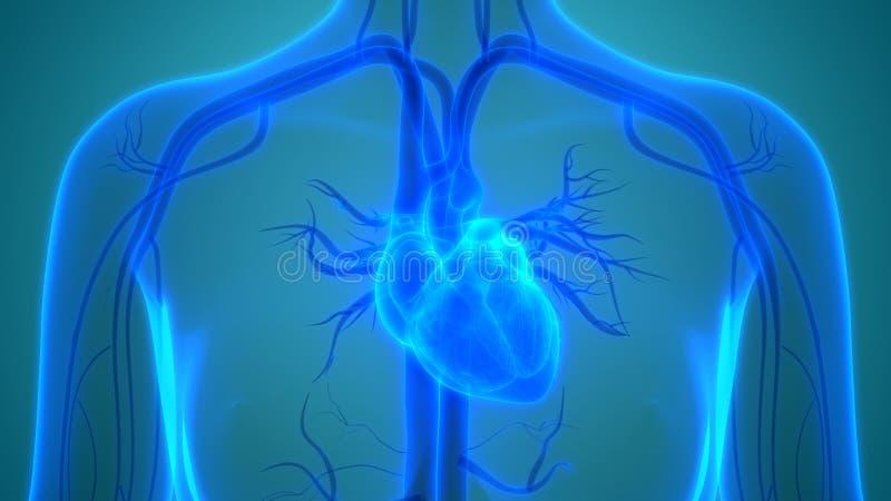 Human Body Organs Cardiovascular System with Heart Anatomy. 3D Illustration of Human Body Organs Cardiovascular System with Heart Anatomy royalty free illustration